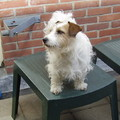 honden foto Sparkle,Jack Russell