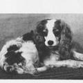 honden foto Cavalier King Charles Spaniel anno 1926