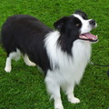 honden foto Belgian Border Collie Club show 14-09-14