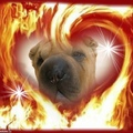 honden foto Hearts on Fires Starlight Sterre haar officiele kennelnaam